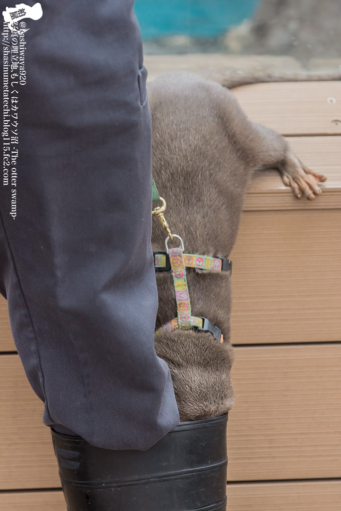Otter Is Very Curious to Know What's in the Keeper's Boot