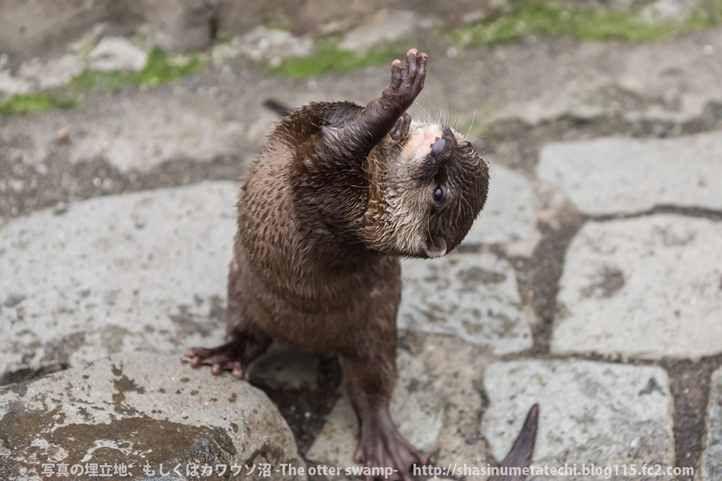 Otter Practices His Interpretive Dance
