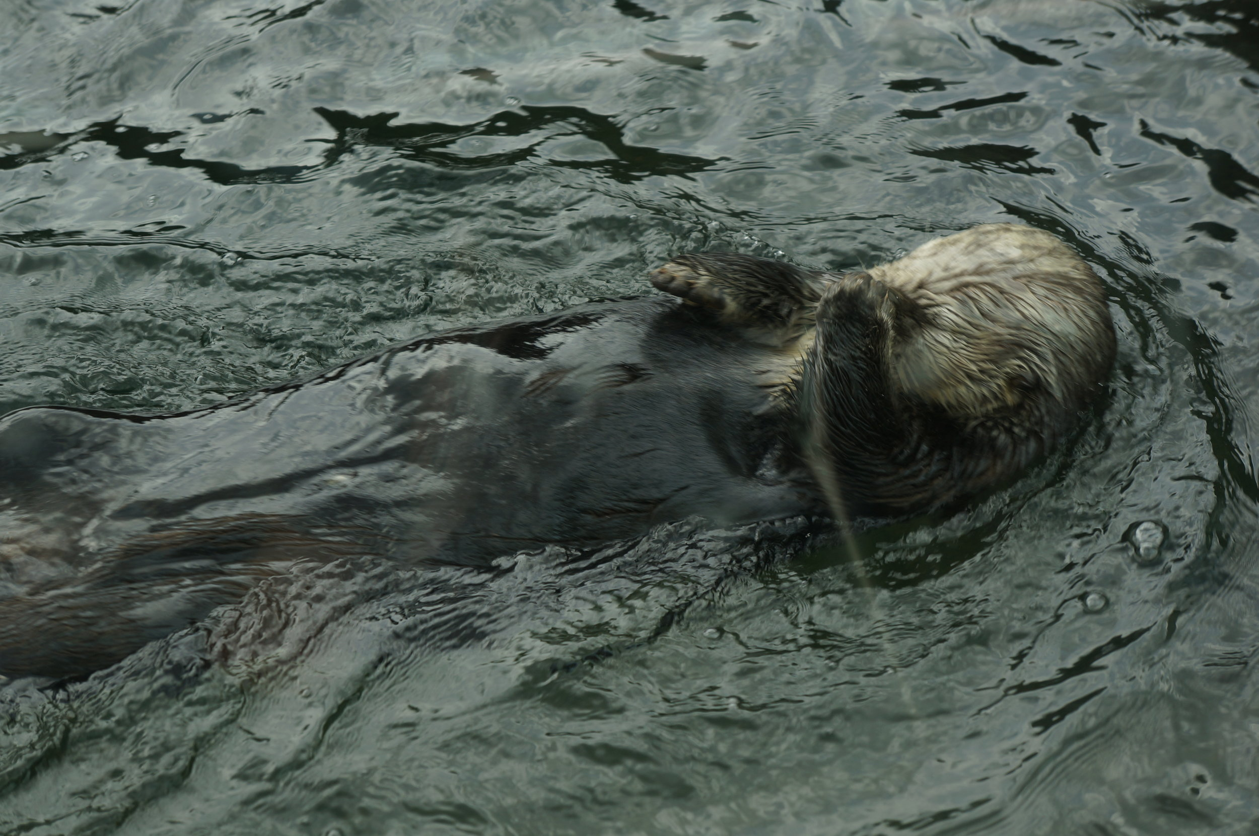 Sea Otter Facepalms