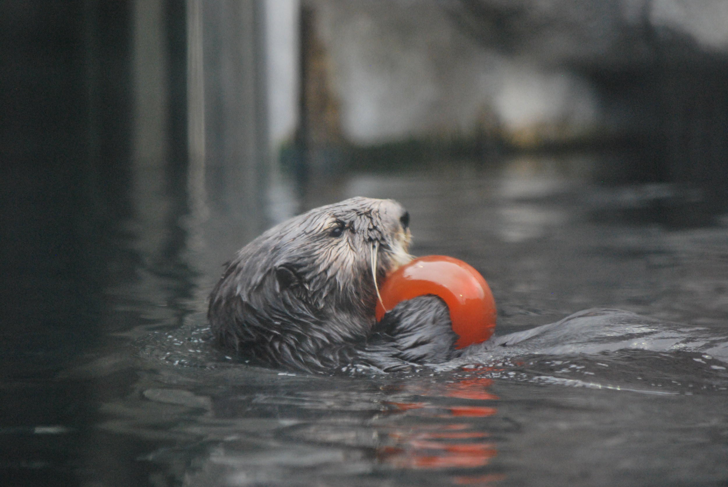 Sea Otter Has a Ball