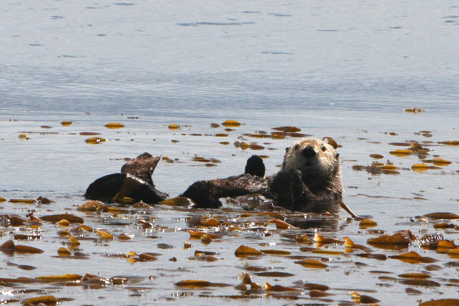 Sea Otter Is Surprised to Have an Audience