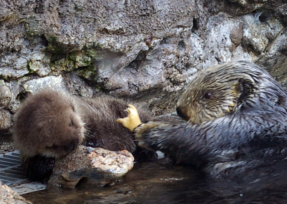 Sea Otter Mother Aniak Offers a Bit of Clam to Pup Sekiu, But Sekiu Is Not Interested in That Right Now