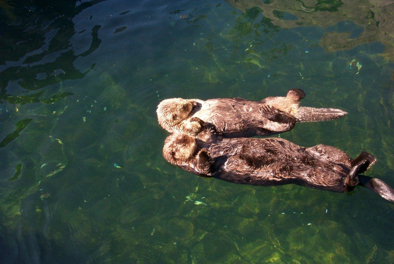 Sea Otters Float and Snooze Holding Hands