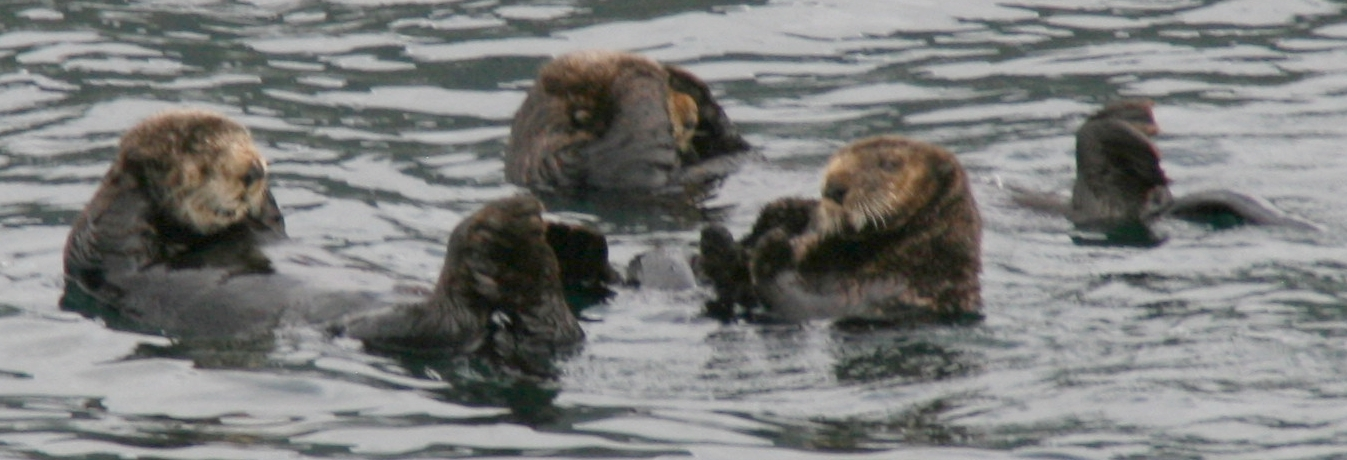 Sea Otters Have a Group Bathing Session