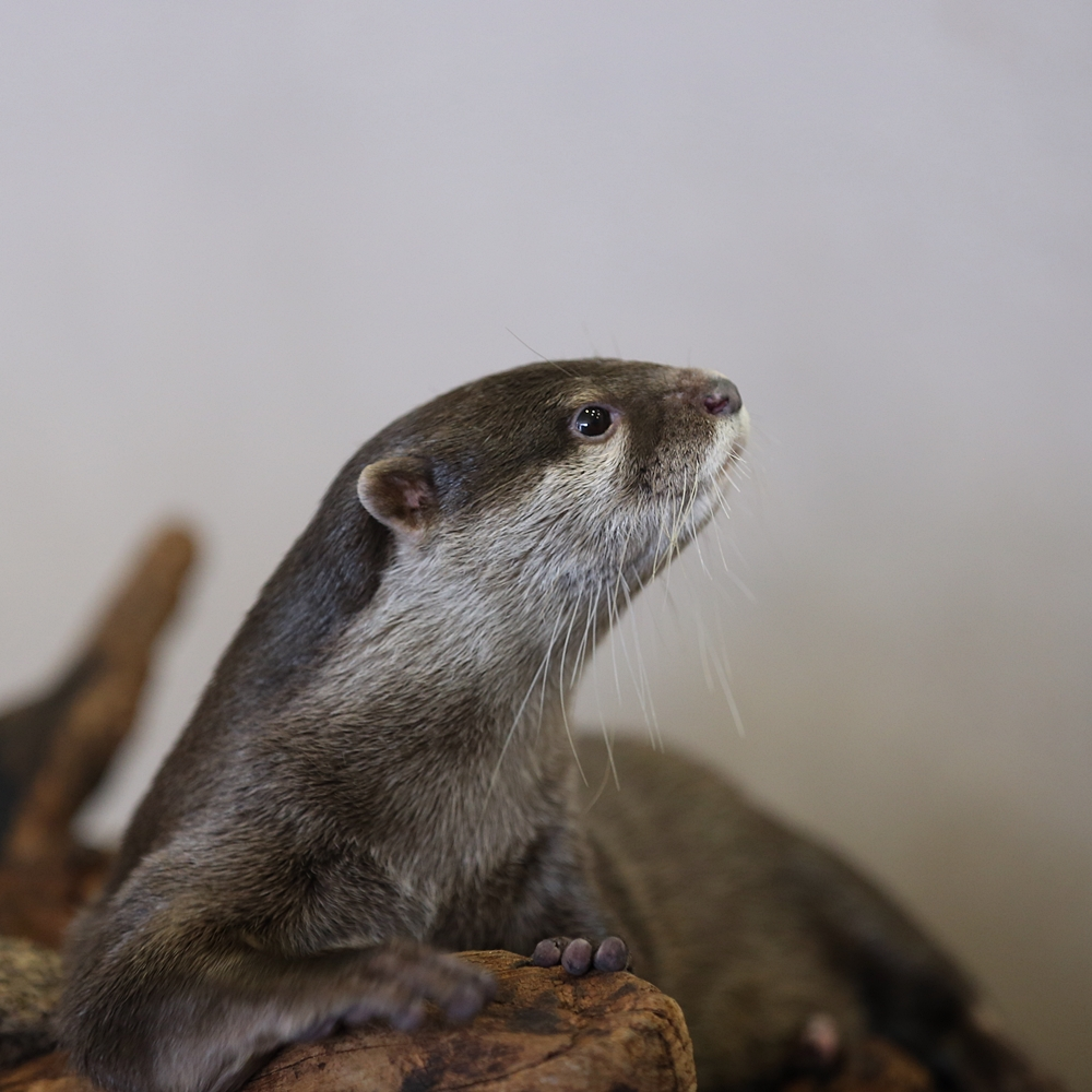 Otter Is a Very Attentive Listener