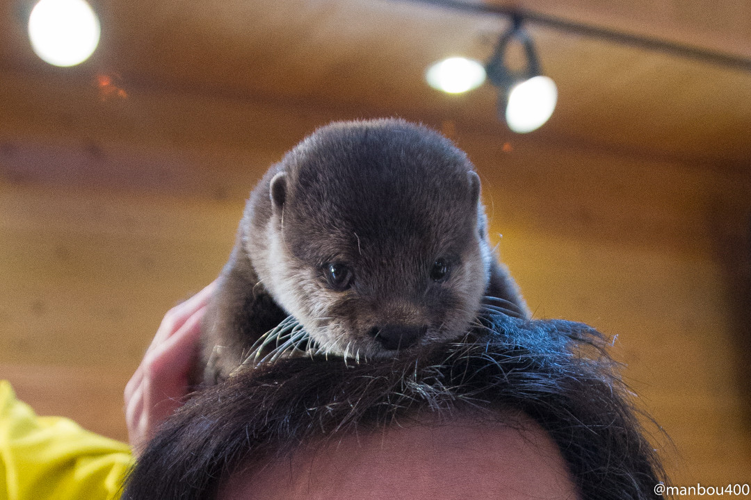 Otter Makes the Cutest Hair Accessory
