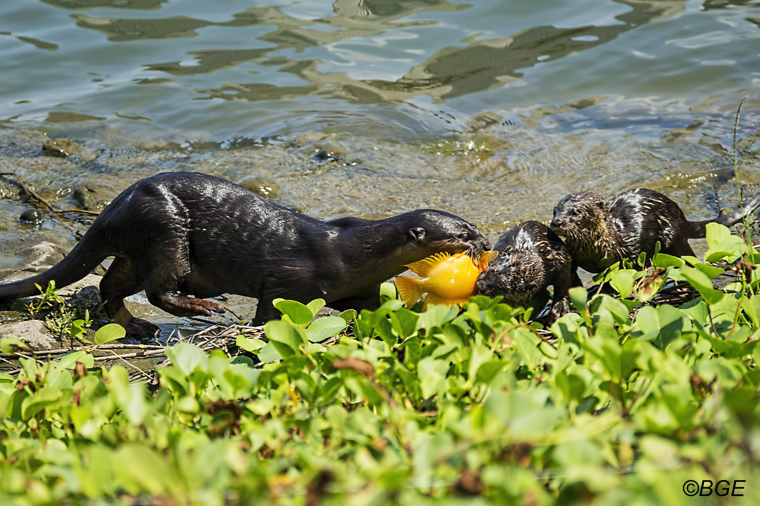 Otter Mother Presents a Fish to Her Pups