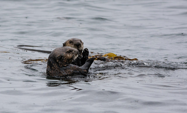 Sea Otter Friends Meet and Do Some Catching Up