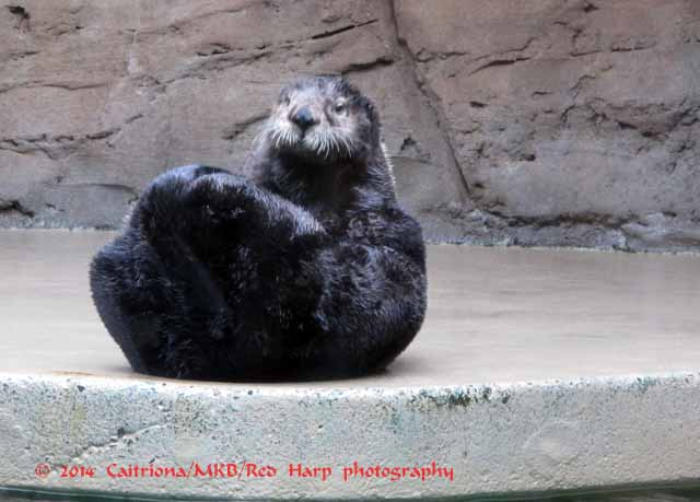 Sea Otter Moons the Camera 1