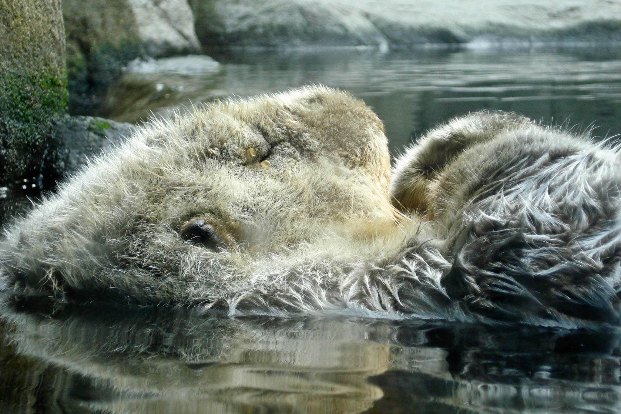 Sea Otter Snoozes So Peacefully