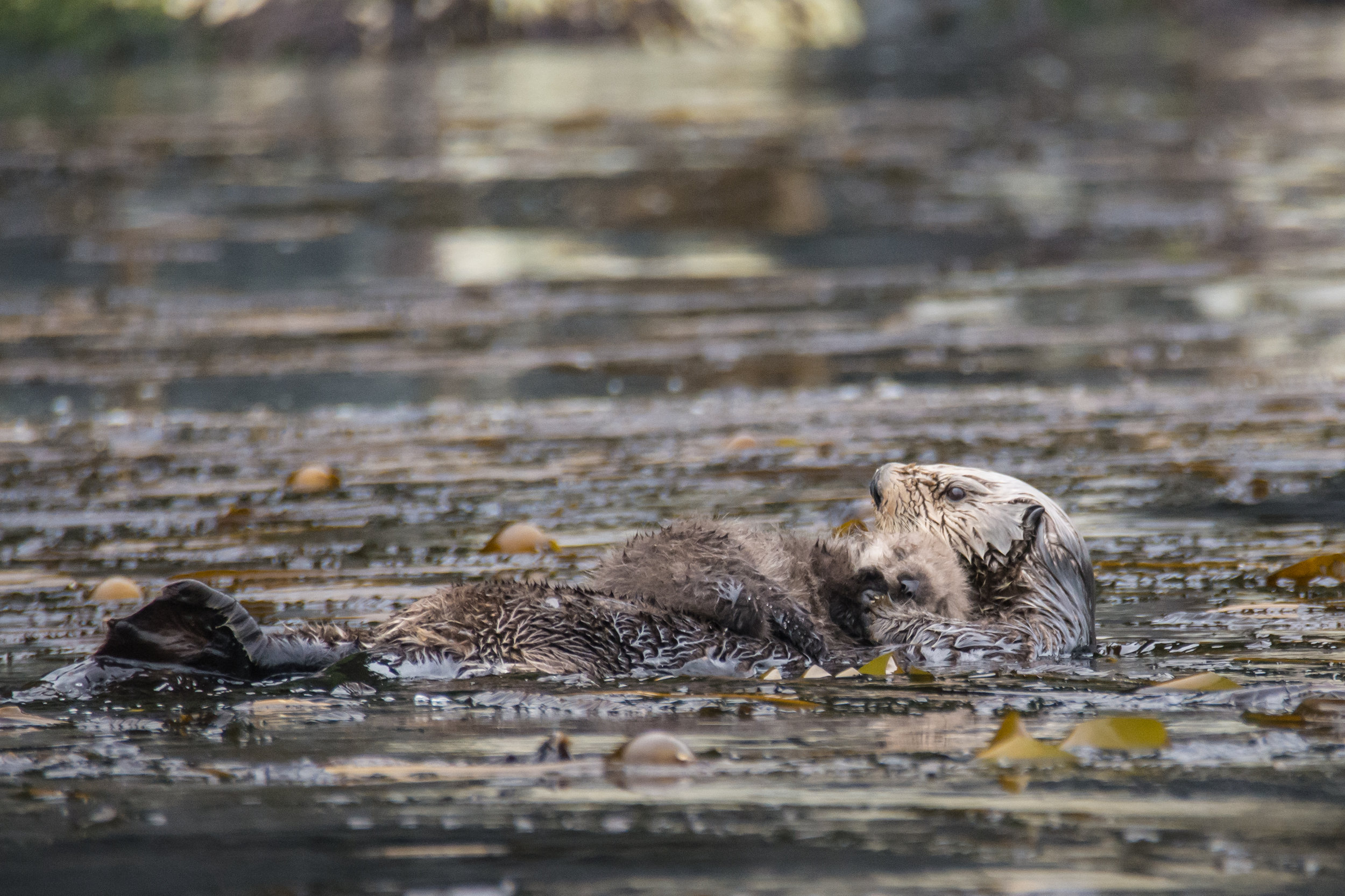 Sea Otter Pup Snoozes, Safely Held on Mum's Belly