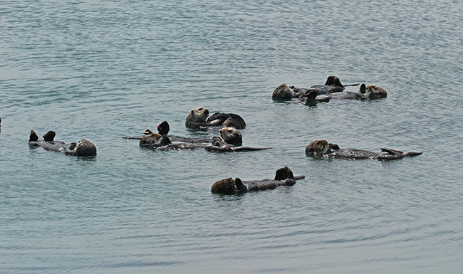 A Raft of Sea Otters Go About Their Business