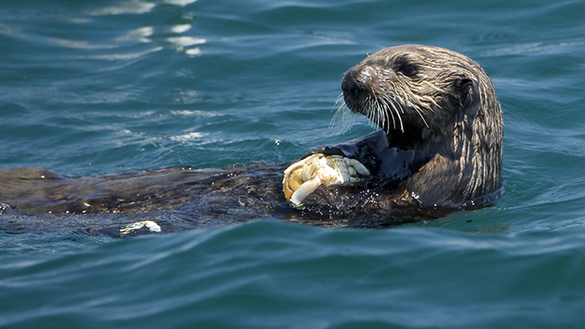 A Sea Otter's Belly Really Makes for a Perfect Table