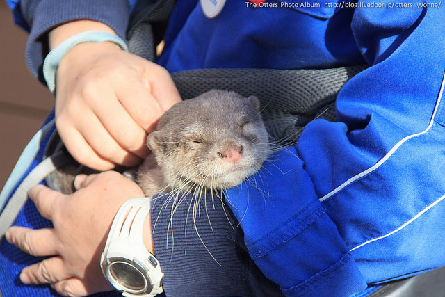 Little Otter Haku Loves Cuddles and Scratches