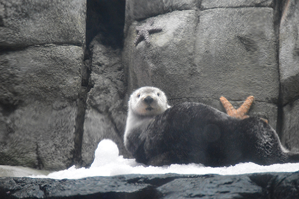 Lounging Sea Otter Notices the Paparazzi