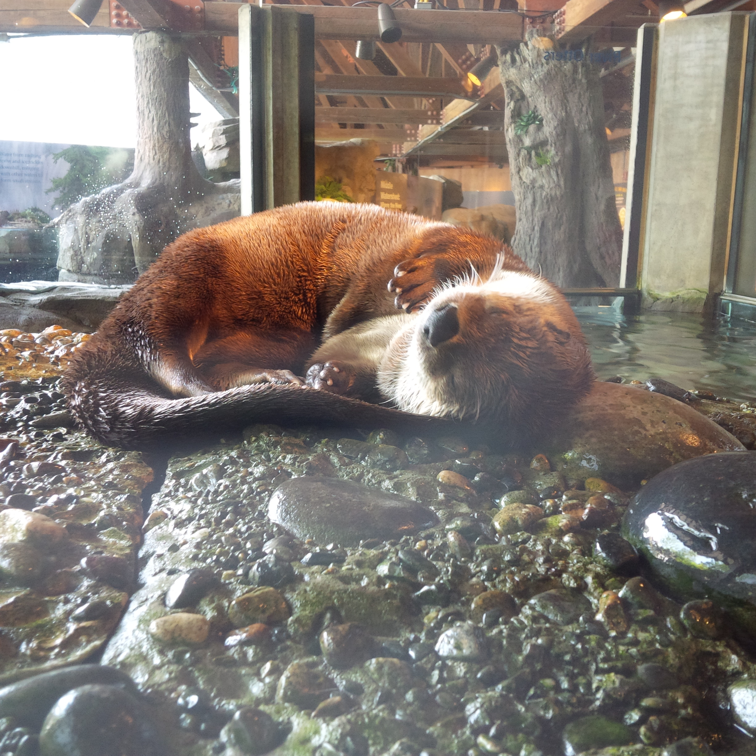 Otter Naps Paws Up to Catch All Those Dream Fish
