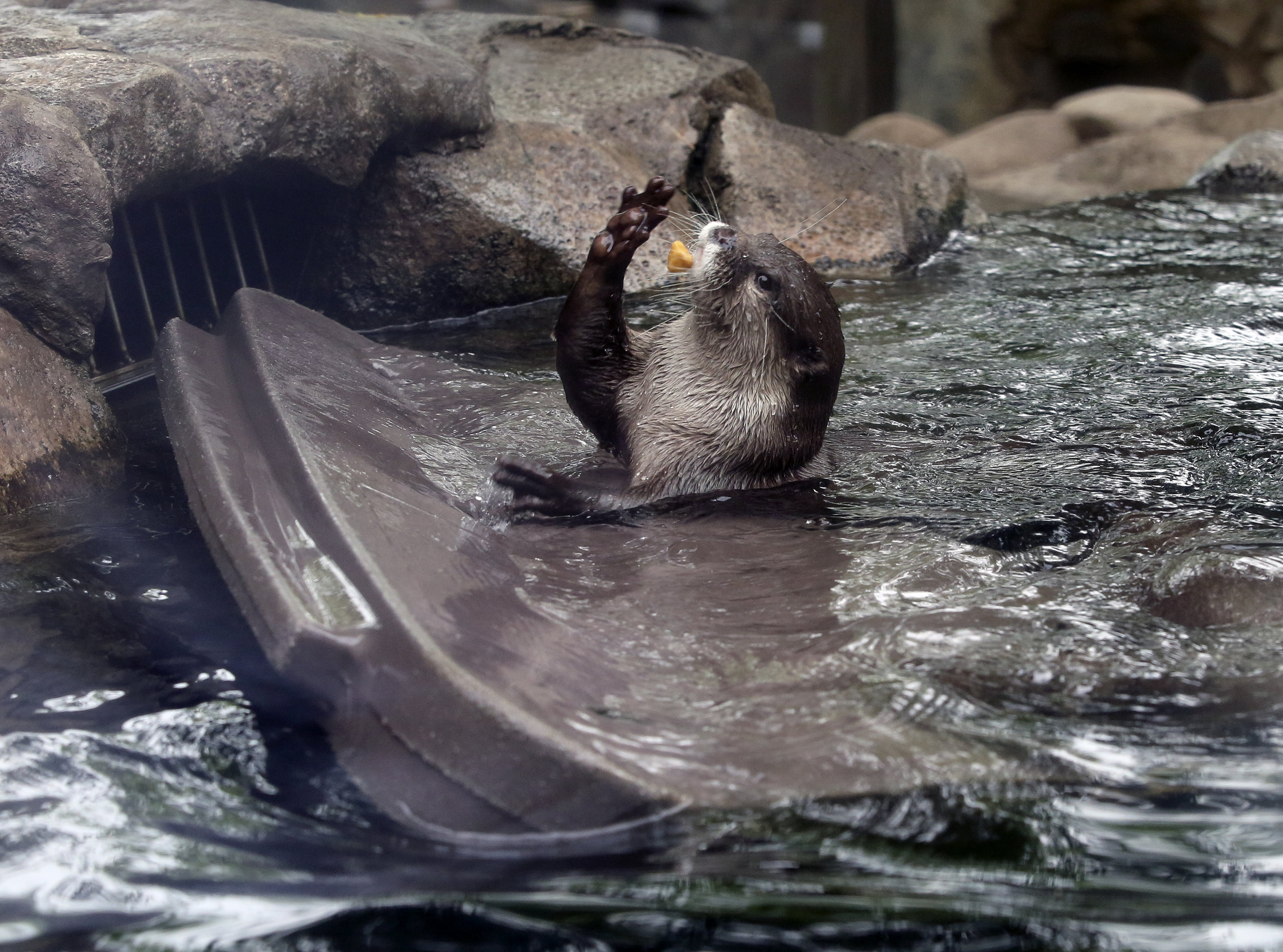 Otter, Open Your Mouth to Catch the Treat!