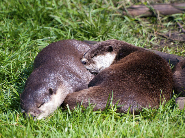 Otters Snuggle in the Sun