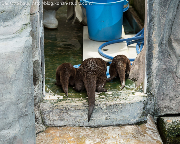 Otters Want to Supervise the Cleaning of Their Den