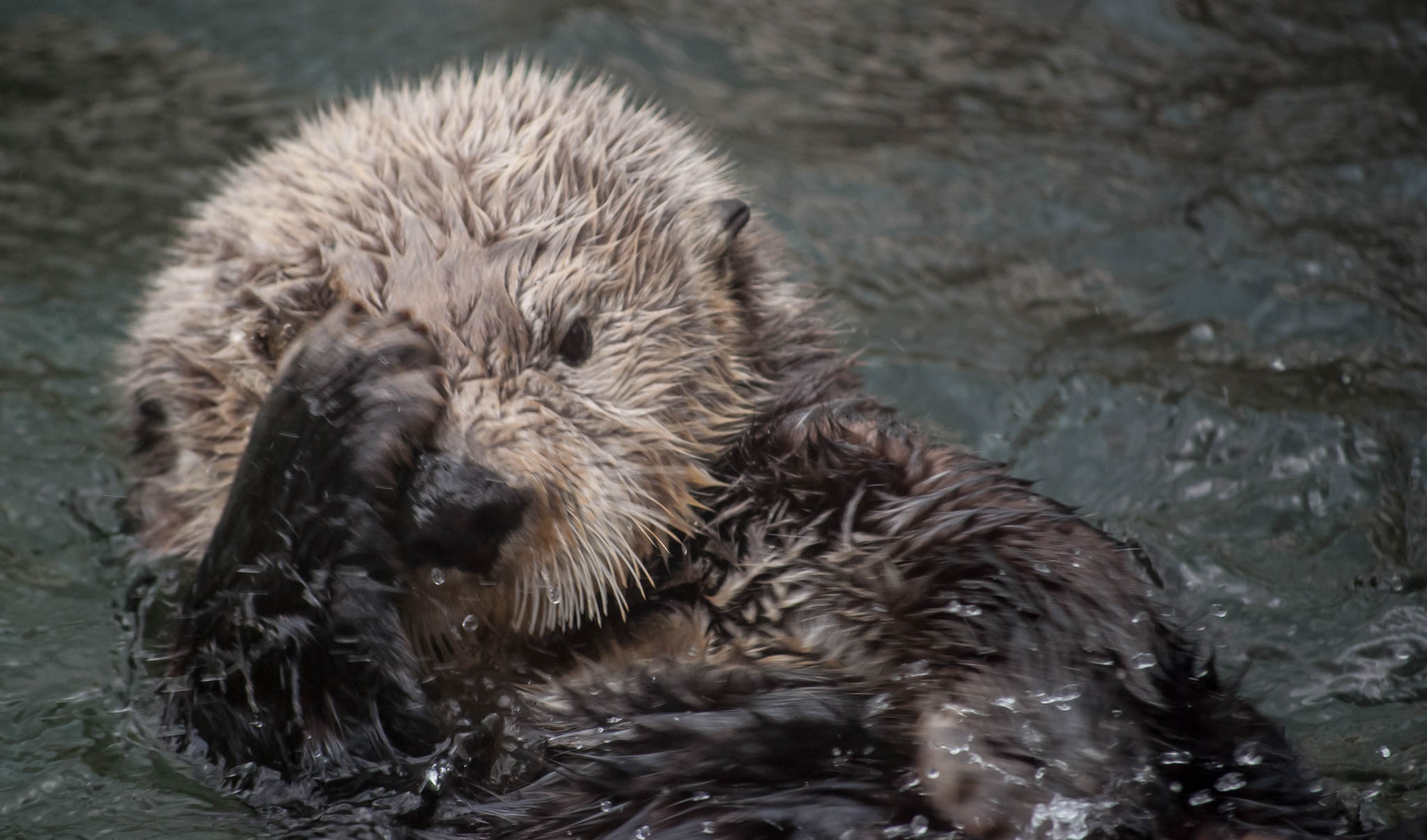 Sea Otter Can't Right Now, He Just Can't