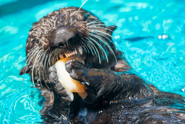 Sea Otter Pup Juno Noms a Seafood Snack