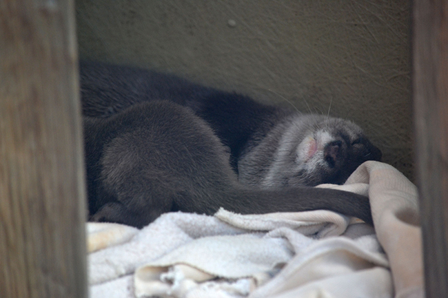 Sneaky Photo of Otter Snoozing in His Den