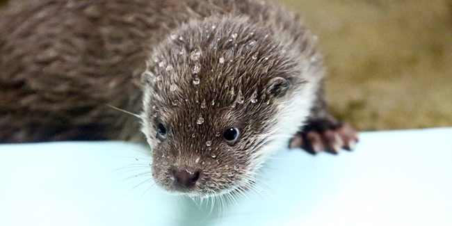 Water Beads Up on Otter Pup's Fur