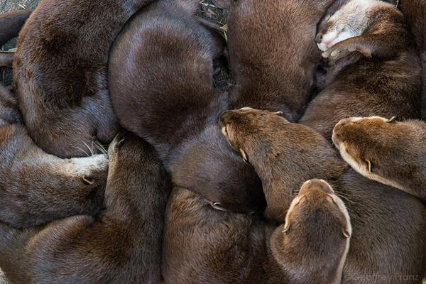 It's One Big Otter Cuddle Puddle!