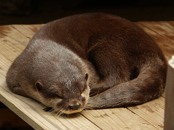 Otter Curls Up for a Nap