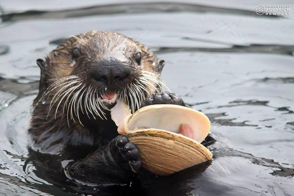 Otter Happily Devours a Clam