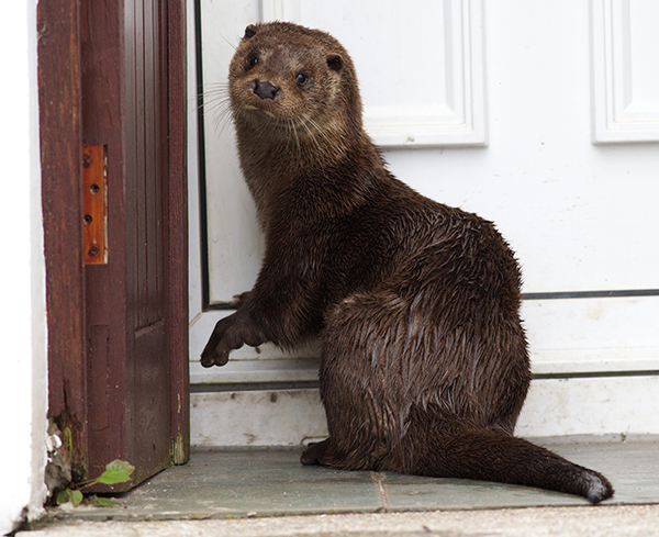 Otter Goes Door to Door Offering to Properly Dispose of Seafood Leftovers