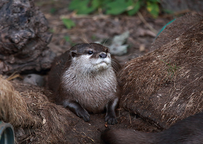 Otter Has Found a Good Spot for Sitting and Observing