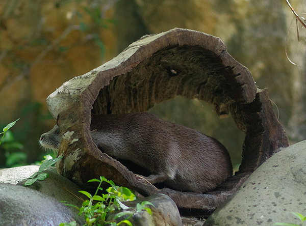 Otter Peeks Out from a Knothole in His Log