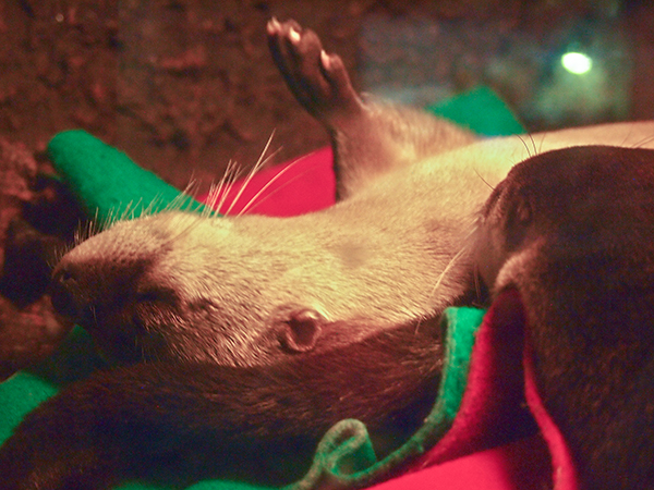 Otter Snoozes with a Paw in the Air