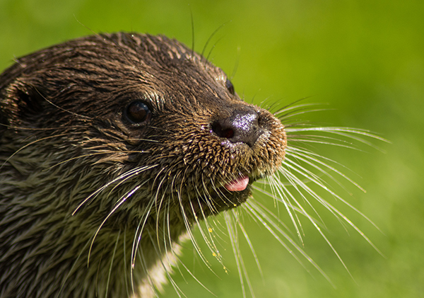 Otter Sticks Out His Tongue Just a Little Bit