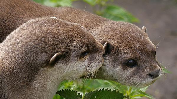 Otter Tells Her Friend a Secret