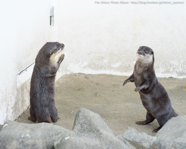 Otters Do Their Human Impressions