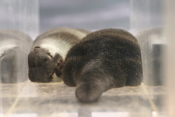 Otters Fall Asleep in Their Ottertunnel