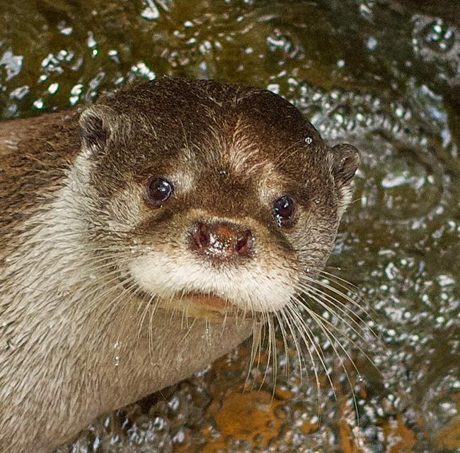 Otter's Headshot