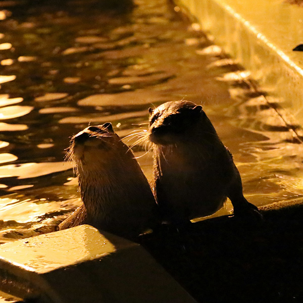 Otters Stay in the Pool After the Sun Goes Down 1