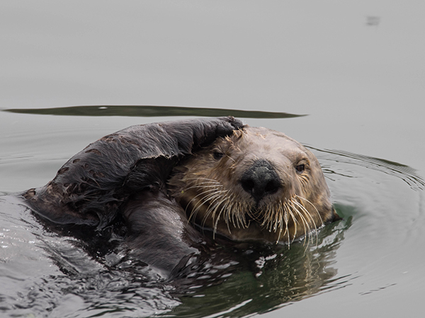 Puzzled Sea Otter Scratches His Head