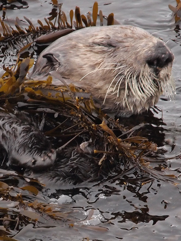 Sea Otter Gets Cozy in Kelp