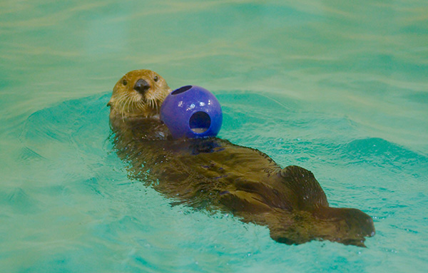 Sea Otter Has a Ball and Looks Pretty Happy About It 1