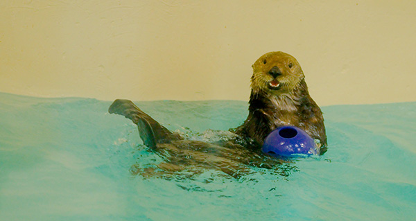 Sea Otter Has a Ball and Looks Pretty Happy About It 2