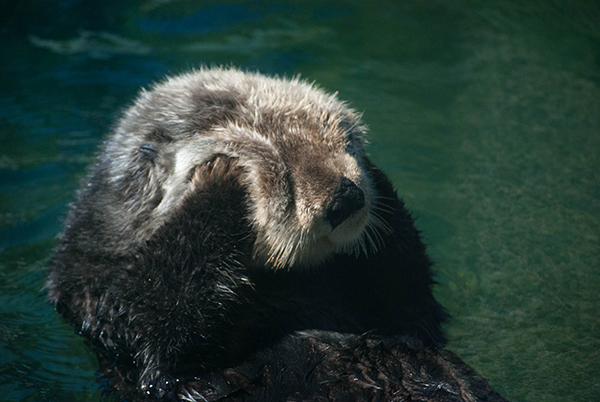 Sea Otter Tanu Gets in a Good Cheek Rub 1