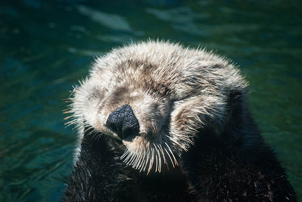Sea Otter Tanu Gets in a Good Cheek Rub 2