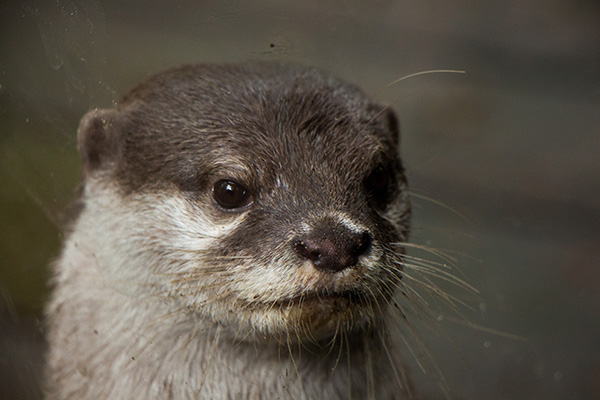 Stoic Otter Has a Formal Portrait Taken