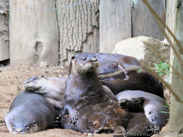 Unlike Most of Her Friends, Otter Just Cannot Seem to Fall Asleep