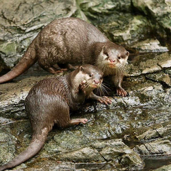 Conspirator Otters Notice They Have an Audience