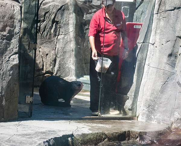 Hopeful Sea Otter Follows the Keeper with the Treats